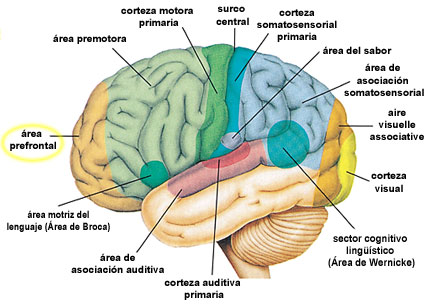 Las regiones funcionales del hemisferio izquierdo del cerebro. El área prefrontal esta localizada en el frente de la corteza cerebral (Essentials of Anatomy & Physiology [Anatomía y Fisiología Escencial], Seeley y otros, p 210.)